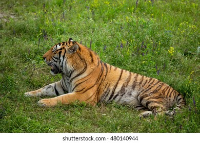 big tiger on the grass
