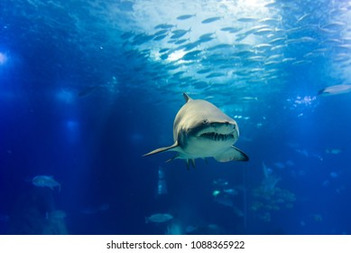 big tiger shark in slow approaching way
