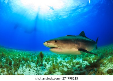 Big tiger shark swimming by in clear blue water at Tiger beach, Bahamas