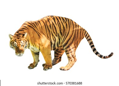 A big tiger walkin isolated on white background. front side view with copy space. Thailand, Asia.