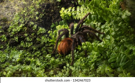 big torantula spider with nature environment background