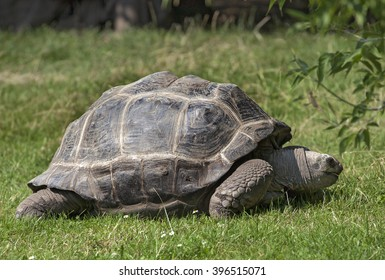 Big tortoise eating grass