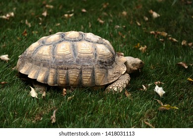 Big tortoise slowly moving on green grass