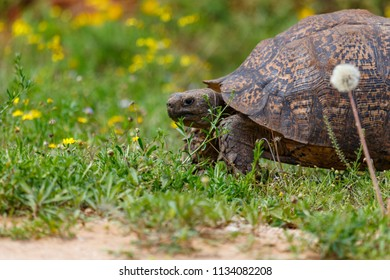 Big Tortoise standing on the grass in the field