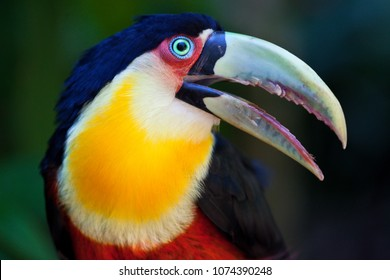 Big Toucan in tropical forest of Brazil, closeup portrait