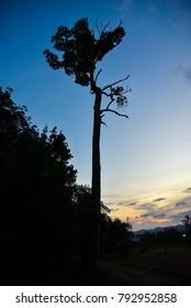 Big tree alone and blue sky