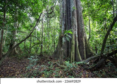 A big tree of the Amazon forest.