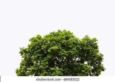 Big tree with beautiful leaves with white background