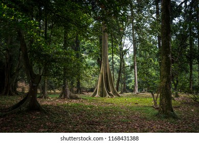 Big Tree in Bogor Botanical Garden Indonesia