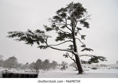 A big tree in Bradgate park with snow, Leicestershire, England