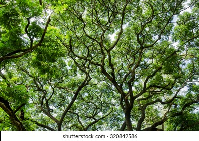 big tree and branches of tree over head