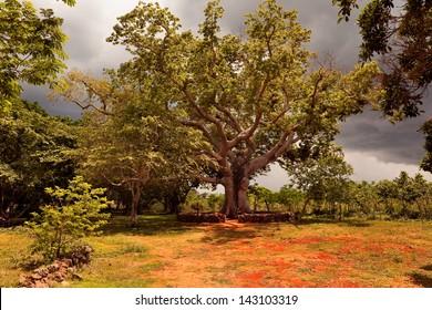 Big tree ceiba on the ranch, Cuba