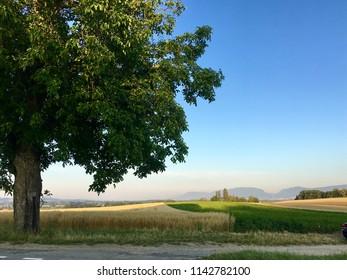 Big tree and cornfield oats and potatoes