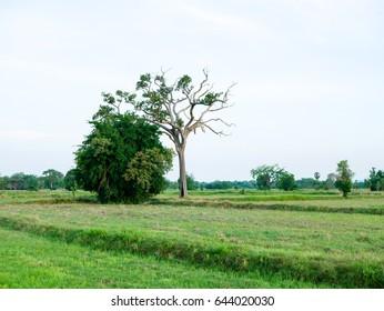 Big tree in the field - Shutterstock ID 644020030