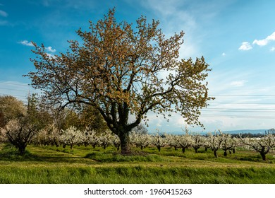 A big tree in front of a cherry plantation in a blue sky composition