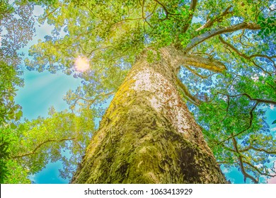 The Big Tree is a giant Outeniqua Yellow wood, Podocarpus Falcatus, 1000 years old in Tsitsikamma Forest National Park close to Storms River on Garden Route, in Eastern Cape, South Africa. Bottom view