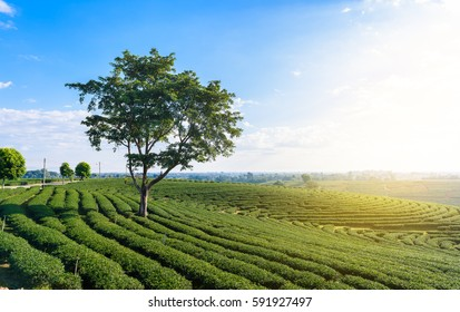 Big Tree in Green tea field, , Tea Plantation with blue sky at Chiangrai,  Thailand