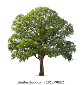 big tree isolate on white background - Shutterstock ID 1918798826
