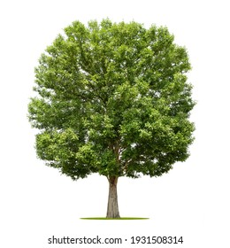 big tree isolate on white background - Shutterstock ID 1931508314