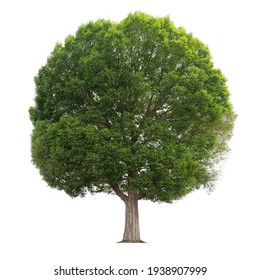 big tree isolate on white background - Shutterstock ID 1938907999