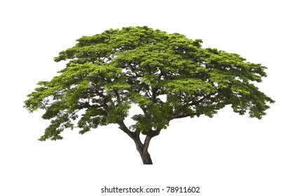 Big tree isolated, Common name : saman, rain tree,  monkeypod, giant thibet, inga saman, cow tamarind, East Indian walnut,  Binomial name :   Albizia saman