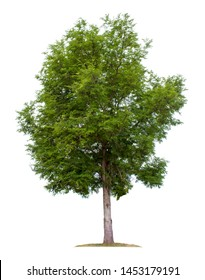 Big tree isolated on white background.Tamarind or Indian date with clipping paths for garden design.Tropical species found in Asia.