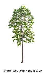 big tree isolated on white