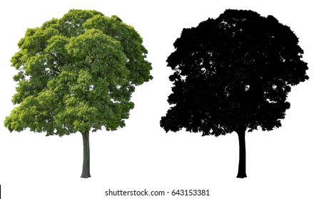 big tree isolated on white background with alpha mask