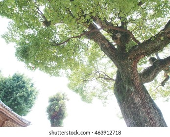 Big tree of Japanese small shrine, bright sunshine background