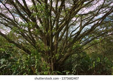 Big tree at La Ceiba Trail in Parque Nacional Volcan Arenal in Costa Rica
