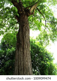 big tree with large trunk,small branches and green leaves,it is a nice environment place