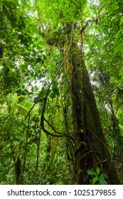 Big tree in lush rainforest Costa Rica