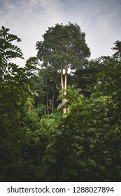 The big tree in the middle of jungle