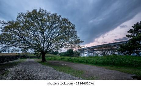 big tree in odaiba park