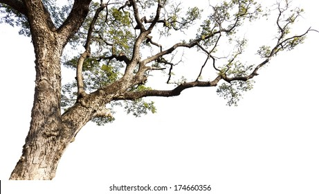 Big tree on a white background