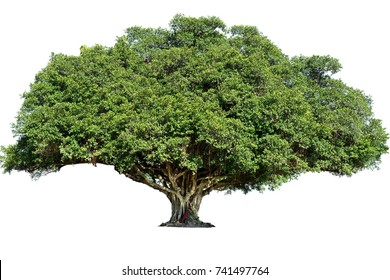 The big tree on white background