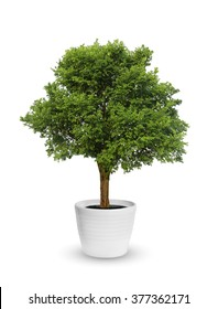 big tree a potted isolated over white