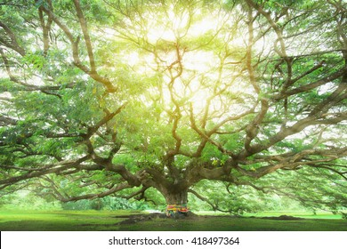 Big tree with reforestation for sustainable development, adding ozone to the world.