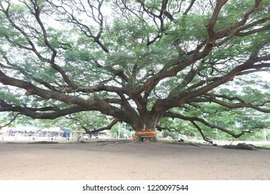 A big tree (Samanea saman) ,100 year old tree,Landmark travel Kanchanaburi in Thailand.