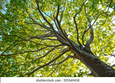 Big tree silhouette and nature green wood sunlight background