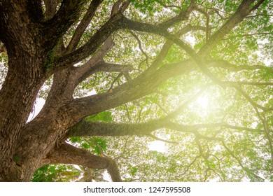 Big tree to sprawl,Samanea saman (Leguminosae)