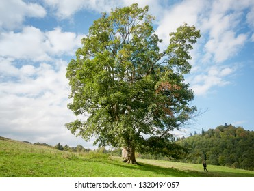 A big tree versus a small man. Nature versus humanity. A tourist heading towards a deciduous tree on a green hill.