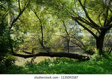 Big tree and Yauza river in Moscow