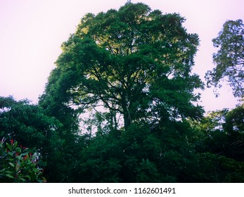 Big Trees of The Forests In The Morning At Munduk Village, Buleleng, Bali, Indonesia