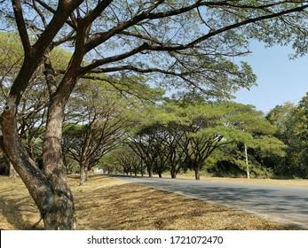 大きな木が2列に並ぶ。列が互いに近くにあり、道端にある列もある。近くの木の枝が突き出て曲がり、美しい木のトンネルができあがります。