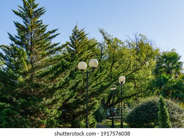 Big trees with lush vibrant green foliage of cupressocyparis Leylandii in city park Sochi. Famous resort town in south of Russia.