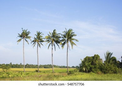 big trees in a rice field