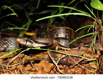 A big trinket rat snake (Coelognathus flavolineatus) in jungle southern vietnam