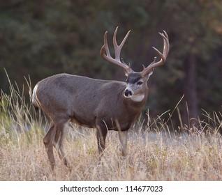Big trophy Mule Deer buck; western deer hunting, Montana