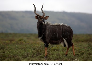 A big trophy Nyala / Inyala bull standing and posing in this image.South Africa